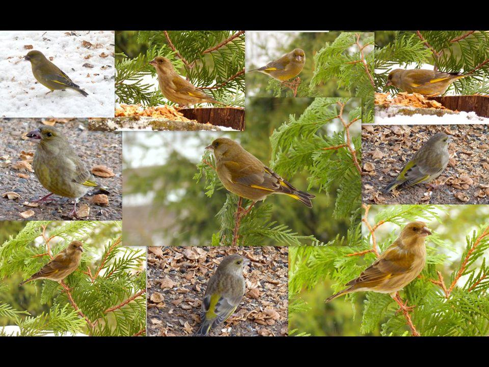 Zvonek zelený (Carduelis chloris) Velký jako vrabec s krátkým, silným zobákem. Hojně se vyskztuje v zahradách, parcích, na polích a loukách s křovinam