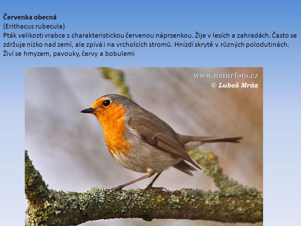 Červenka obecná (Erithacus rubecula) Pták velikosti vrabce s charakteristickou červenou náprsenkou.