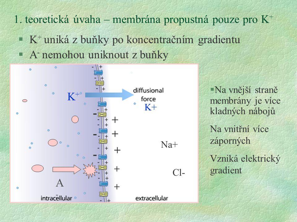 1. teoretická úvaha – membrána propustná pouze pro K + §K + uniká z buňky po koncentračním gradientu §A - nemohou uniknout z buňky §Na vnější straně m