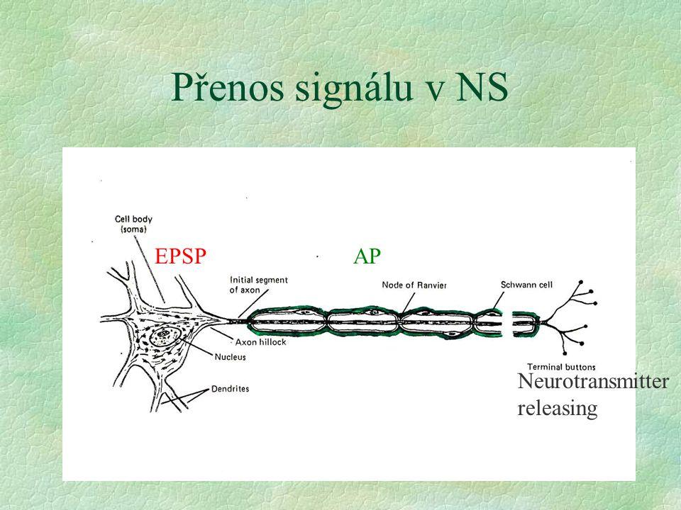 Přenos signálu v NS EPSPAP Neurotransmitter releasing