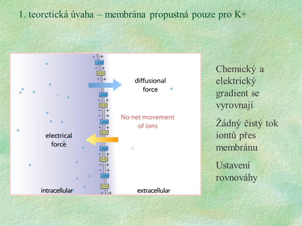 1. teoretická úvaha – membrána propustná pouze pro K+ Chemický a elektrický gradient se vyrovnají Žádný čistý tok iontů přes membránu Ustavení rovnová