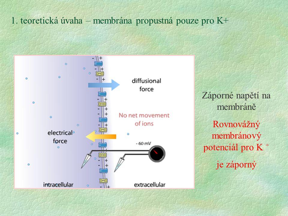 Záporné napětí na membráně Rovnovážný membránový potenciál pro K + je záporný 1. teoretická úvaha – membrána propustná pouze pro K+