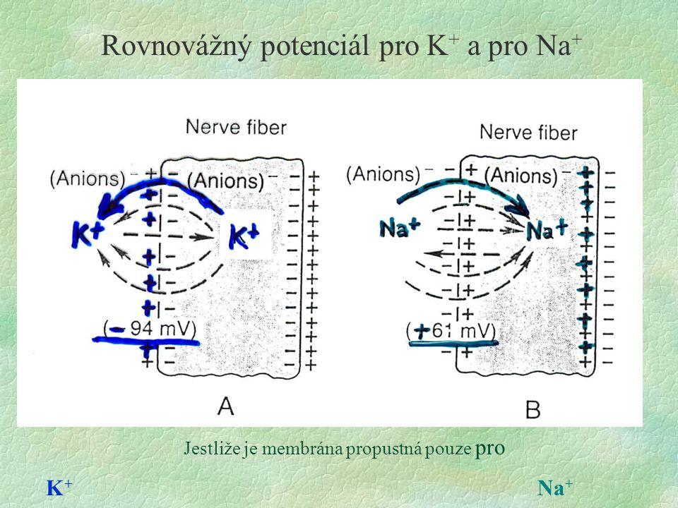 Rovnovážný potenciál pro K + a pro Na + Jestliže je membrána propustná pouze pro K + Na +
