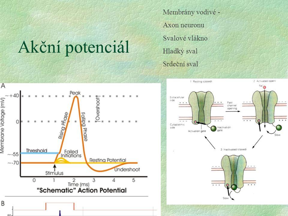 Akční potenciál Membrány vodivé - Axon neuronu Svalové vlákno Hladký sval Srdeční sval