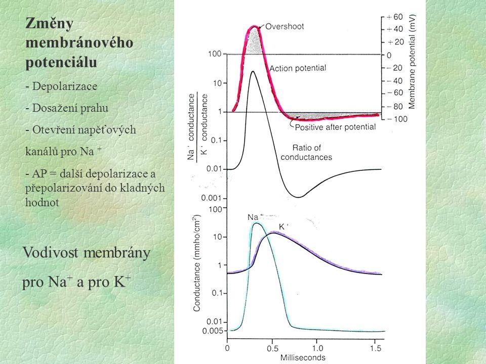 Změny membránového potenciálu - Depolarizace - Dosažení prahu - Otevření napěťových kanálů pro Na + - AP = další depolarizace a přepolarizování do kla