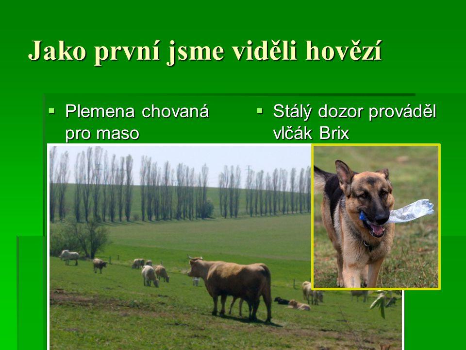 Jako první jsme viděli hovězí  Plemena chovaná pro maso  Stálý dozor prováděl vlčák Brix