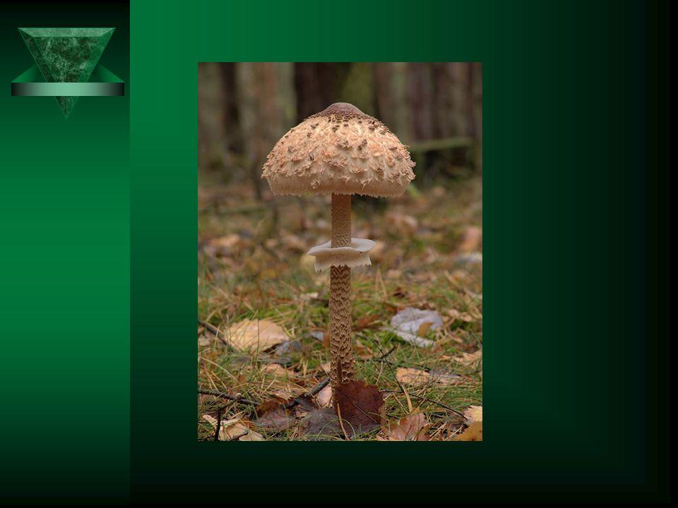 Bedla vysoká Bělavý až žlutohnědý klobouk o průměru 10-30 cm. Třeň je štíhlý a vysoký. Dužnina je bílá a lupeny také bílé. Roste na travnatých místech