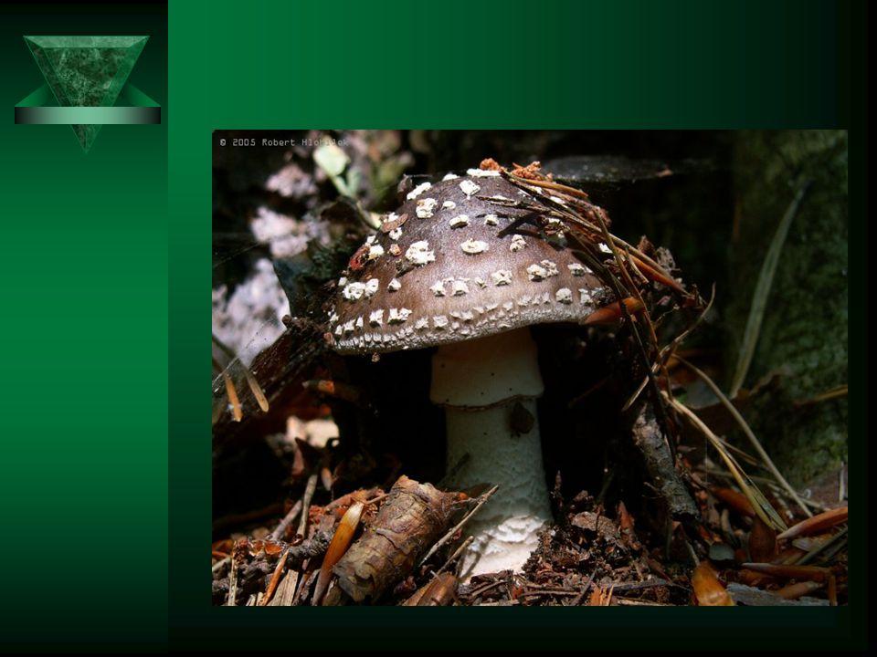 Muchomůrka šedivka Má šedohnědý klobouk o průměru 6-15cm. Třeň je bílý. Dužnina je bílá, lupeny jsou husté a bílé. Roste zejména v jehličnatých lesích