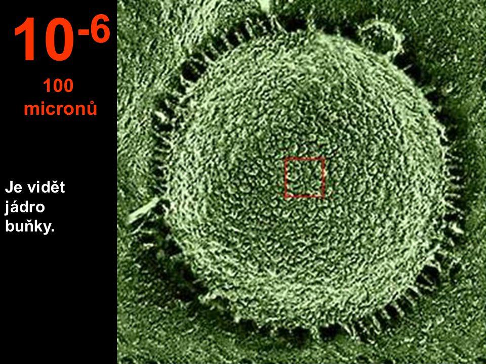 Je vidět jádro buňky. 10 -6 100 micronů