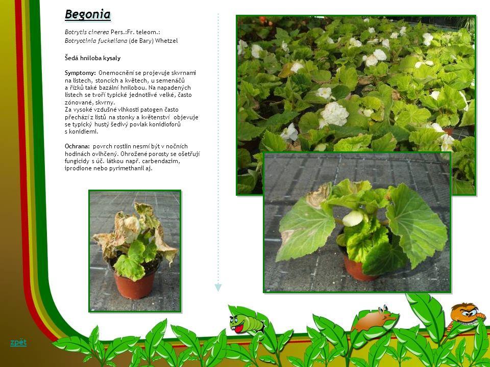 Argyranthemum Argyranthemum x hybrid Peronospora radii Botrytis cinerea Symptomy: Onemocnění se může objevit poměrně brzy, už od počátku roku a zejmén