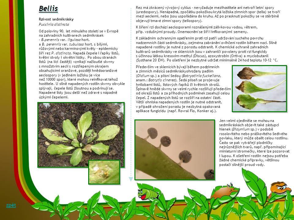 Begonia Botrytis cinerea Pers.:Fr. teleom.: Botryotinia fuckeliana (de Bary) Whetzel Šedá hniloba kysaly Symptomy: Onemocnění se projevuje skvrnami na