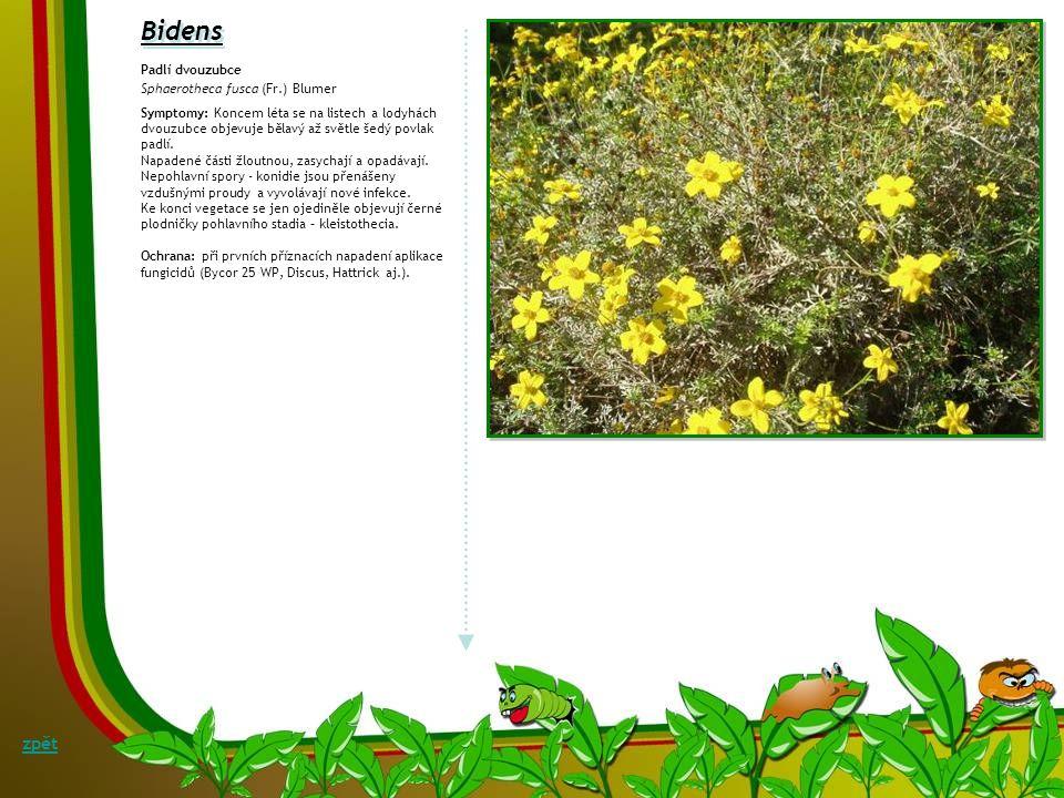 Bellis Rzivost sedmikrásky Puccinia distincta Od poloviny 90. let minulého století se v Evropě na zahradních kultivarech sedmikrásek – B.perennis var.