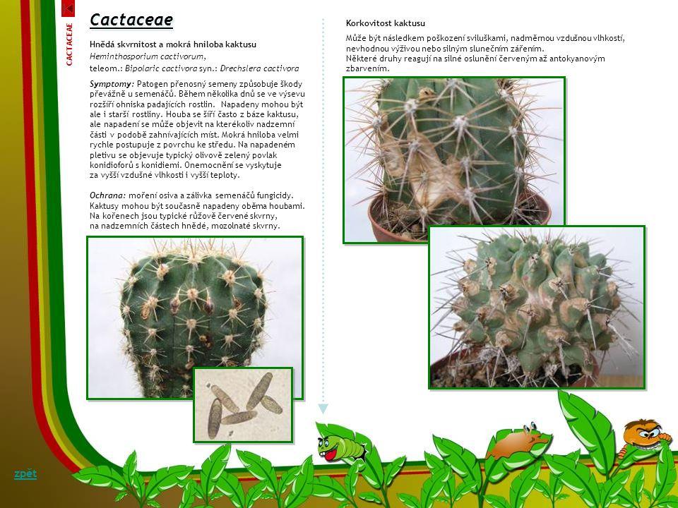 Cactaceae Fusariová hniloba a vadnutí kaktusu Fusarium oxysporum f.sp. opuntiarum W.L. Gordon Symptomy: Fusariová hniloba a vadnutí kaktusu se projevu