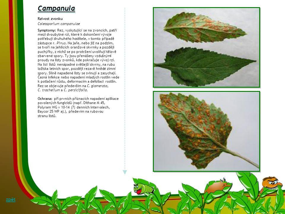 Cactaceae Hnědá skvrnitost a mokrá hniloba kaktusu Heminthosporium cactivorum, teleom.: Bipolaric cactivora syn.: Drechslera cactivora Symptomy: Patog