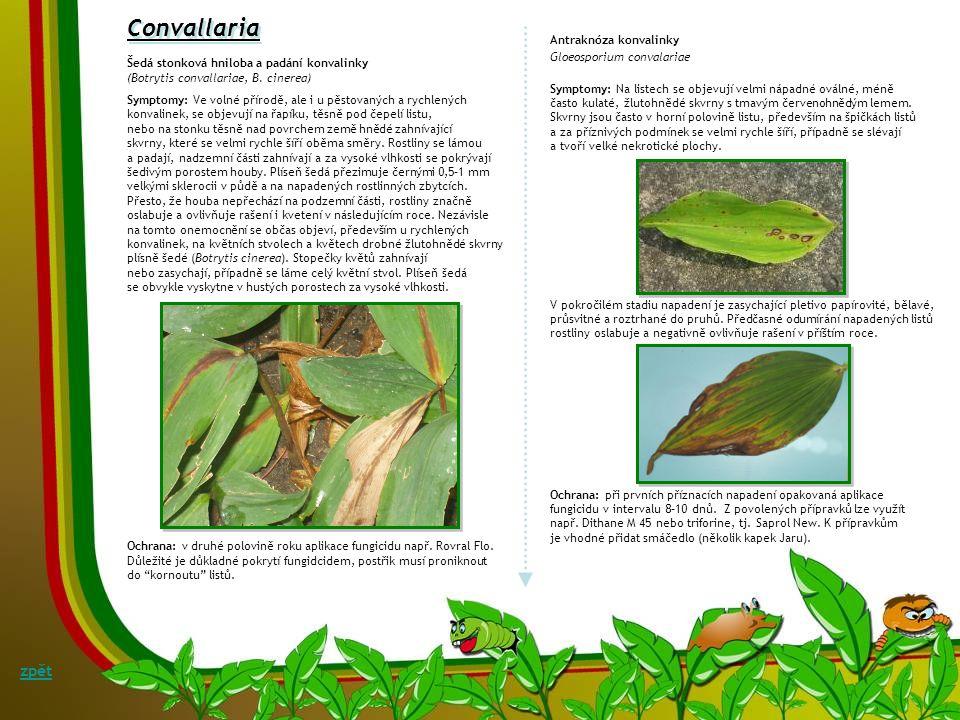 Campanula Rzivost zvonku Coleosporium campanulae Symptomy: Rez, vyskytující se na zvoncích, patří mezi dvoubytné rzi, které k dokončení vývoje potřebu