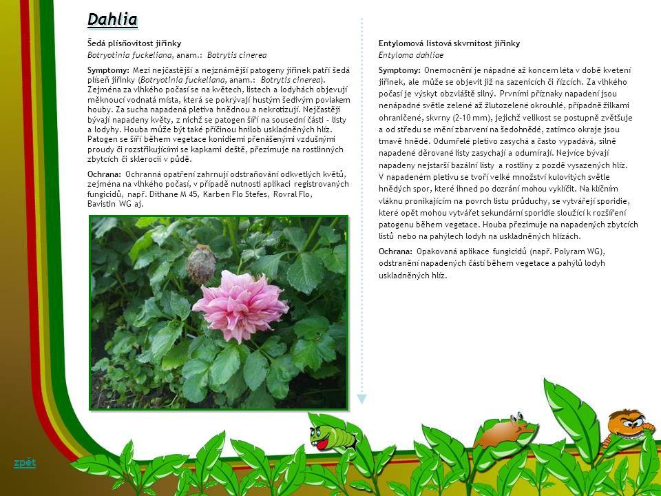 Convallaria Rzivost konvalinky Puccinia digraphidis Symptomy: Rez se na konvalinkách vyskytuje jen zřídka. Na rubu listů se objevují bledé skvrny s or