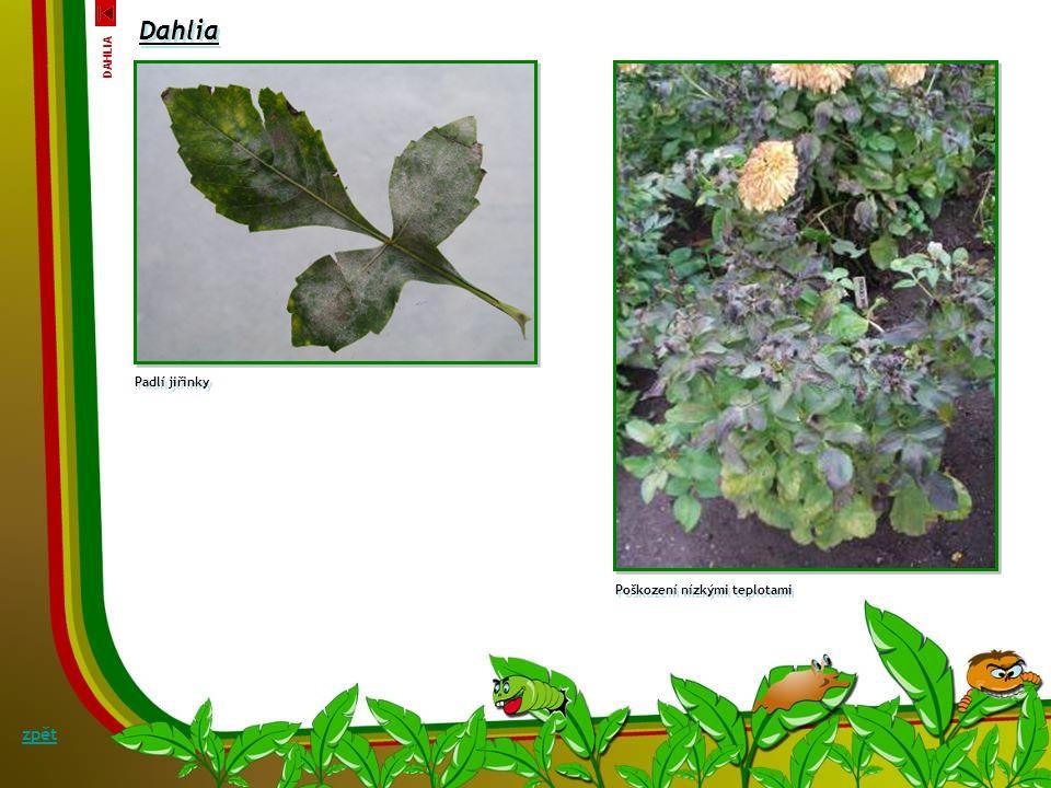Dahlia Verticiliové vadnutí jiřinky Verticillium albo-atrum Symptomy: Půdní patogen proniká do kořenů a prorůstá cévními svazky. Ucpávání cév a také v