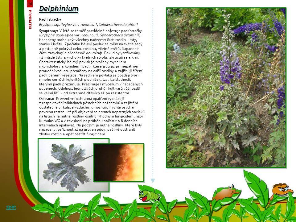 Delphinium Virová mozaika stračky Cucumber mosaic virus - CMV Symptomy: Mezi nejčastěji se vyskytující onemocnění patří virová mozaika stračky, kterou