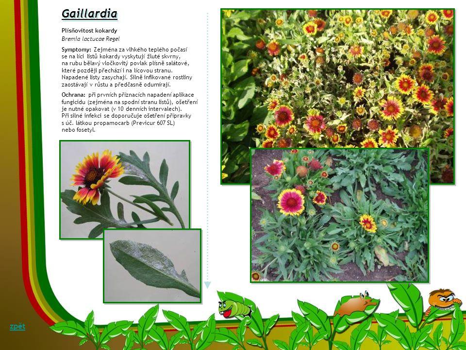 Fytoftorová kořenová hniloba a listová skvrnitost talovínu Phytophthora sp. Symptomy: Brzy po odkvětu talovínu se na listech objevují hnědé, rychle se