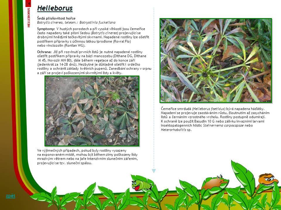 Černá skvrnitost čemeřice Coniothyrium hellebori Symptomy: C. hellebori napadá především rostliny oslabené, přehnojené dusíkem nebo pěstované na nevho