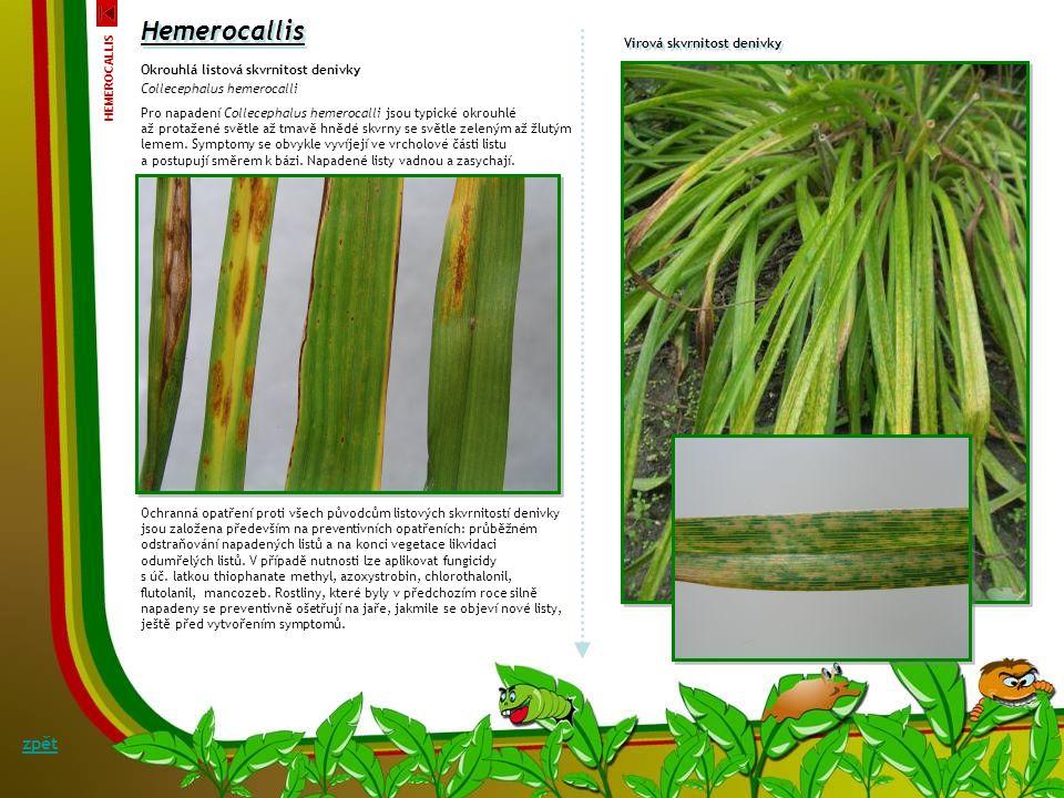 Bakteriální mokrá hniloba kořenového krčku a kořenů denivky Erwinia carotovora Symptomy: Prvními příznaky hnilob kořenů a kořenového krčku je rychlé ž