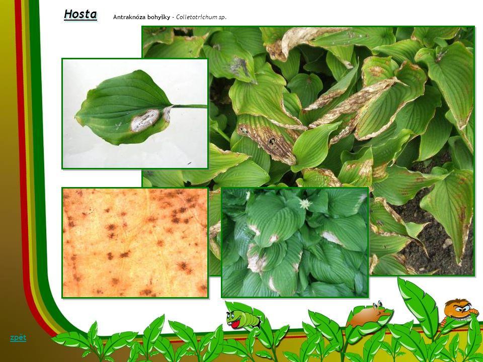 Okrouhlá listová skvrnitost denivky Collecephalus hemerocalli Pro napadení Collecephalus hemerocalli jsou typické okrouhlé až protažené světle až tmav