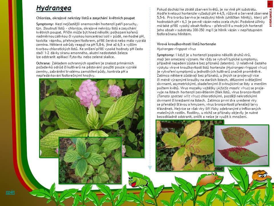 Antraknóza bohyšky - Colletotrichum sp. Hosta zpět