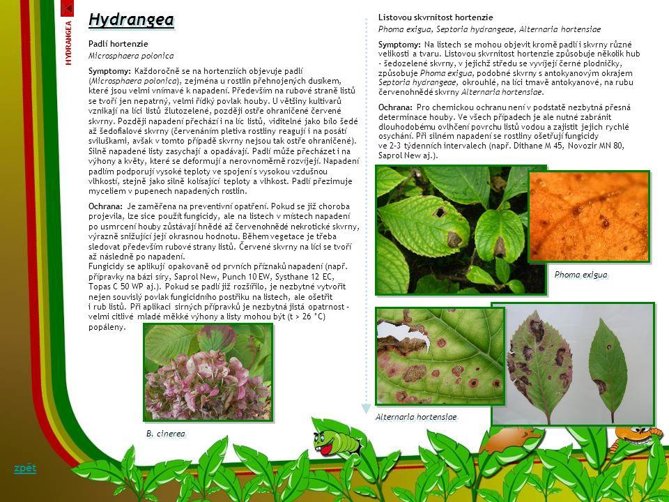 Chloróza, okrajové nekrózy listů a zasychání květních poupat Symptomy: Mezi nejčastější onemocnění hortenzií patří poruchy, tzn. žloutnutí listů – chl