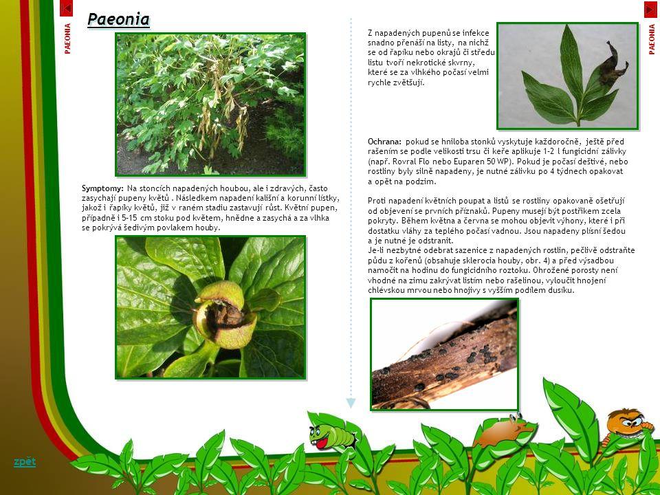 Paeonia zpět Šedá stonková hniloba a zasychání pupenů pivoňky Botrytis paeoniae Téměř každoročně se vyskytuje u P. officinalis šedá stonková hniloba p