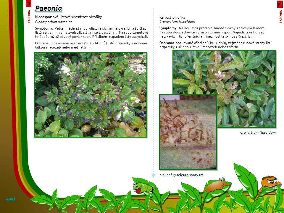 Paeonia Symptomy: Na stoncích napadených houbou, ale i zdravých, často zasychají pupeny květů. Následkem napadení kališní a korunní lístky, jakož i řa