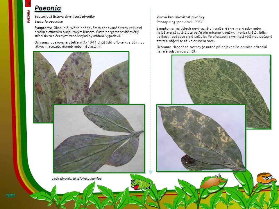 Paeonia Kladosporiová listová skvrnitost pivoňky Cladosporium paeoniae Symptomy: Velké hnědé až modrofialové skvrny na okrajích a špičkách listů se ve