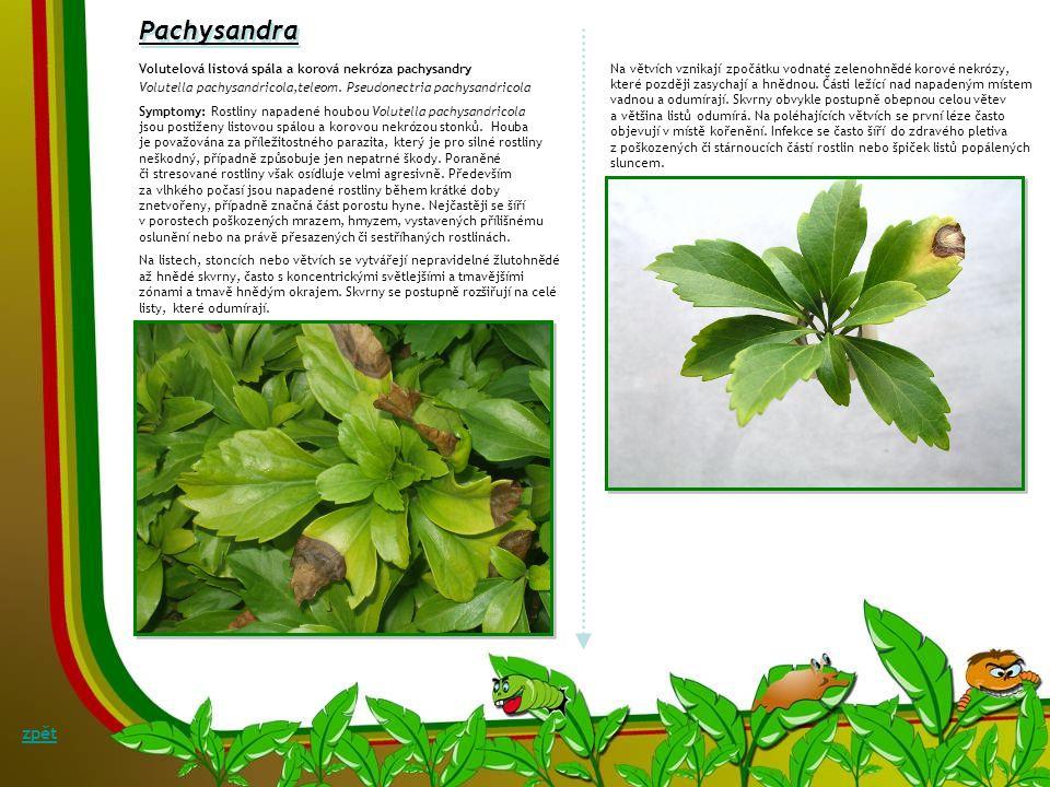 Paeonia Septoriová listová skvrnitost pivoňky Septoria peaoniae Symptomy: Okrouhlé, světle hnědé, často zónované skvrny velikosti hrášku s difuzním pu
