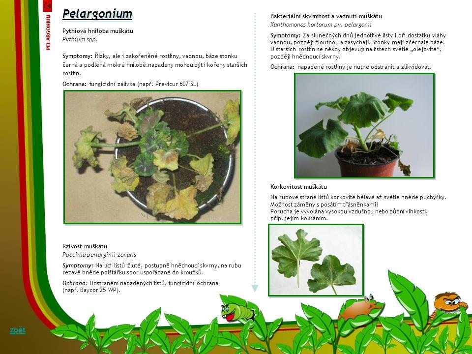 Listová skvrnitost a kořenová hniloba muškátu Cylindrocladium scoparium Morg. (teleomorfa.: Calonectria scoparia Terash) Symptomy: Půdní houba Cylindr
