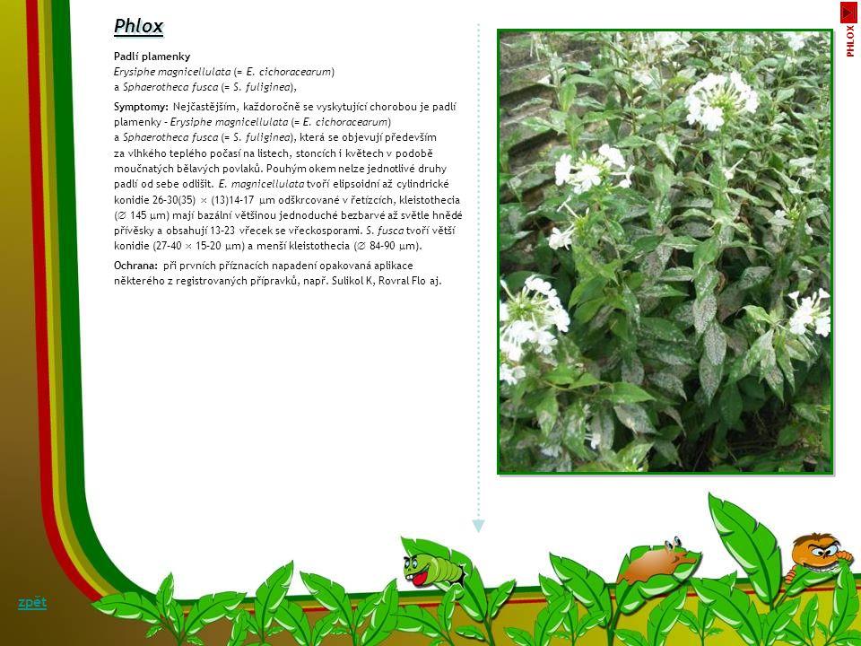 Pythiová hniloba muškátu Pythium spp. Symptomy: Řízky, ale i zakořeněné rostliny, vadnou, báze stonku černá a podléhá mokré hnilobě.napadeny mohou být