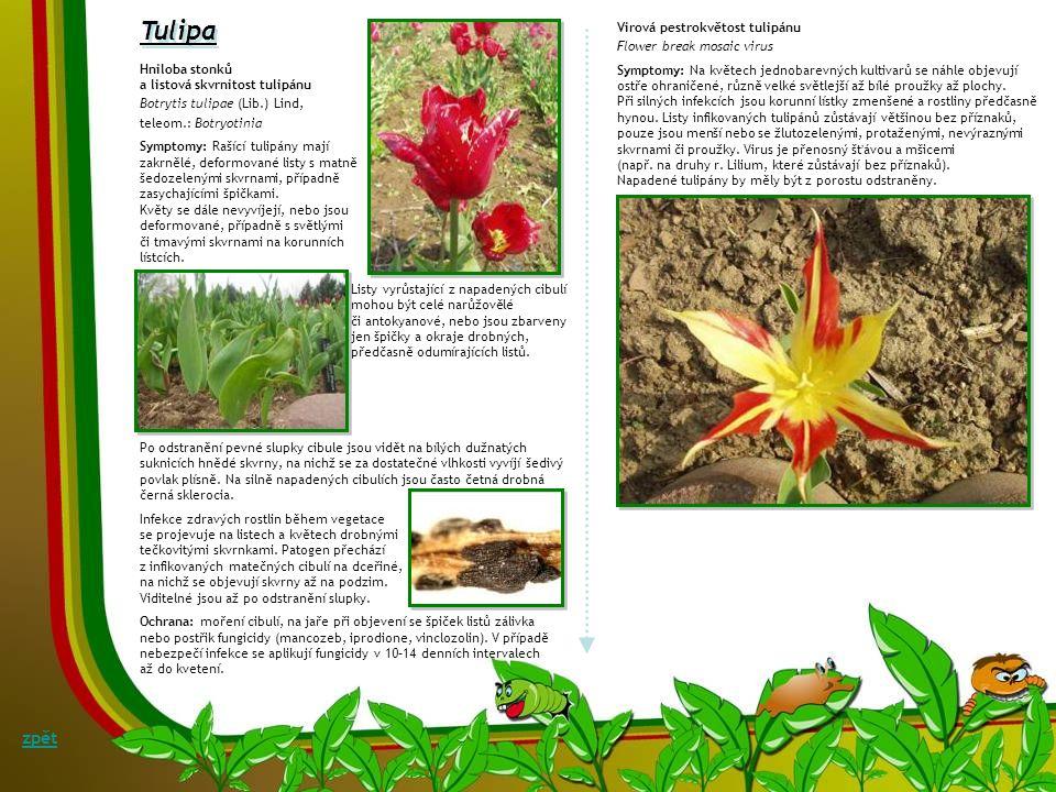 Listová skvrnitost čistce Symptomy: Různě velké, oválné, hranaté či nepravidelné, případně slévající se skvrny na listech čistce mohou způsobovat různ