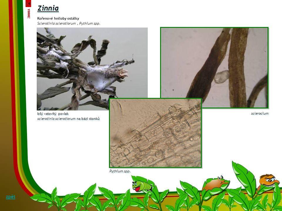 Alternariová listová skvrnitost ostálky Alternaria zinniae - M. B. Ellis Symptomy: Na listech se objevují okrouhlé až protažené skvrny šedohnědé skvrn