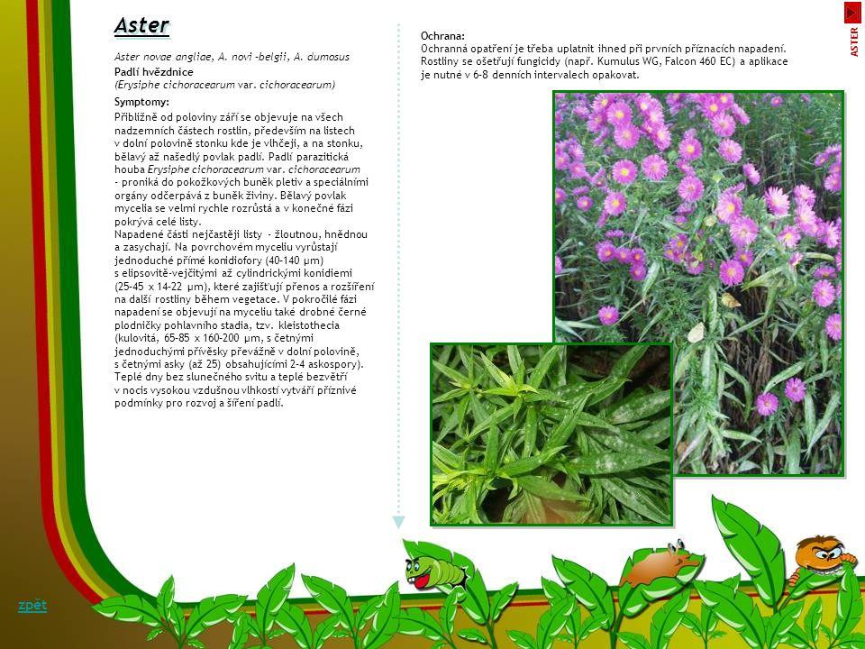 Padlí zavinutky Symptomy: S příbuznými hluchavkovitými (Lamiaceae) rostlinami mají zavinutky společné i choroby a škůdce.