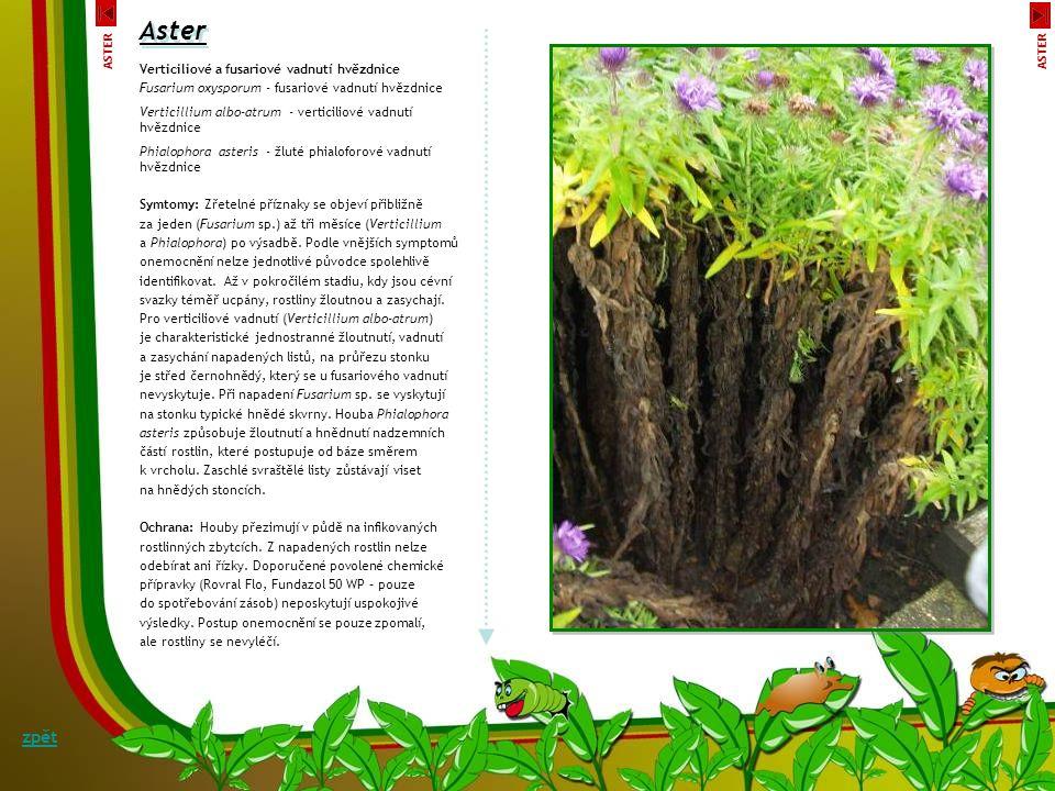 Kořenové hniloby ostálky Sclerotinia sclerotiorum, Pythium spp.