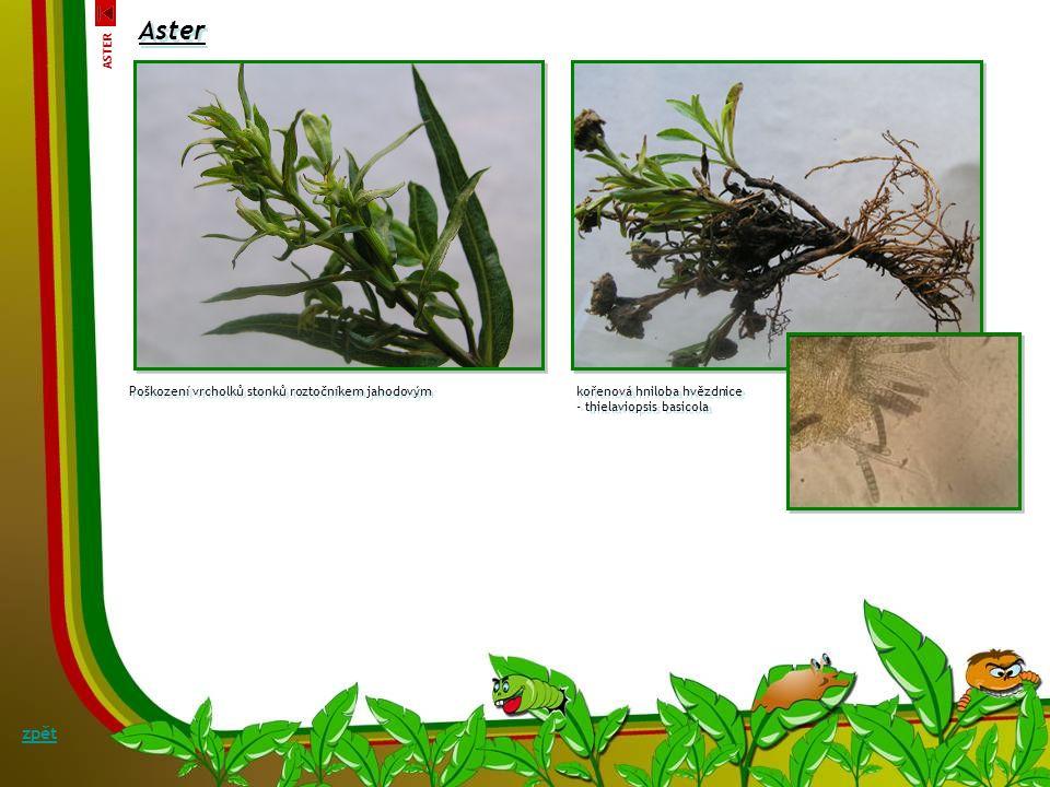 Aster Poškození vrcholků stonků roztočníkem jahodovým kořenová hniloba hvězdnice - thielaviopsis basicola kořenová hniloba hvězdnice - thielaviopsis basicola zpět