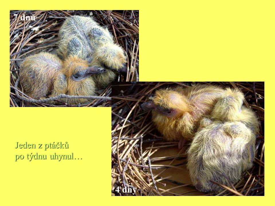 Jeden z ptáčků po týdnu uhynul… 4 dny 7 dnů