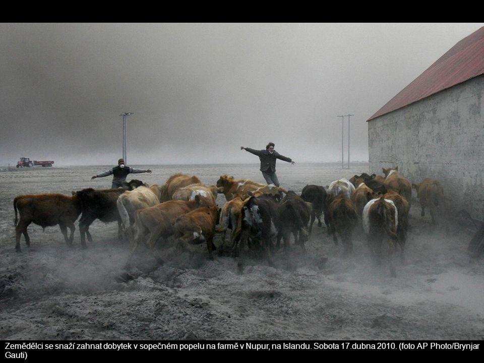Zemědělci se snaží zahnat dobytek v sopečném popelu na farmě v Nupur, na Islandu. Sobota 17.dubna 2010. (foto AP Photo/Brynjar Gauti)