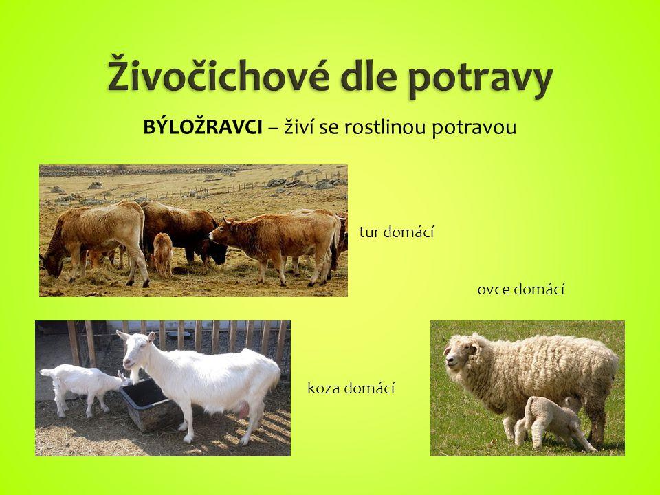 tur domácí koza domácí ovce domácí BÝLOŽRAVCI – živí se rostlinou potravou