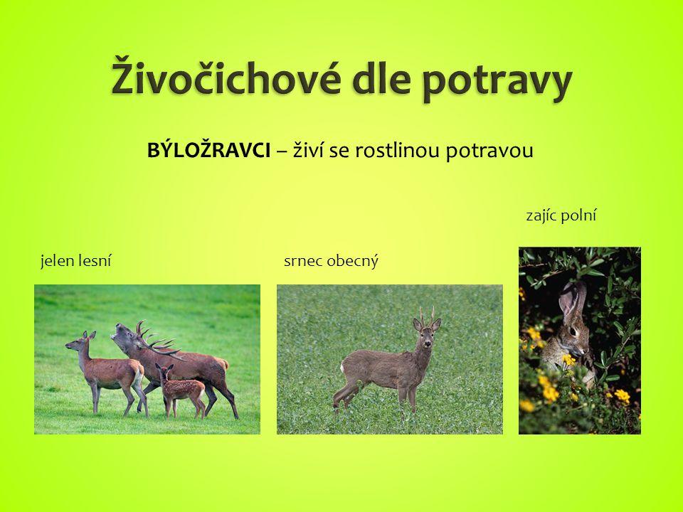 jelen lesnísrnec obecný zajíc polní BÝLOŽRAVCI – živí se rostlinou potravou