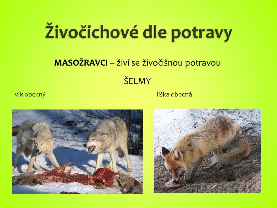 vlk obecnýliška obecná MASOŽRAVCI – živí se živočišnou potravou ŠELMY