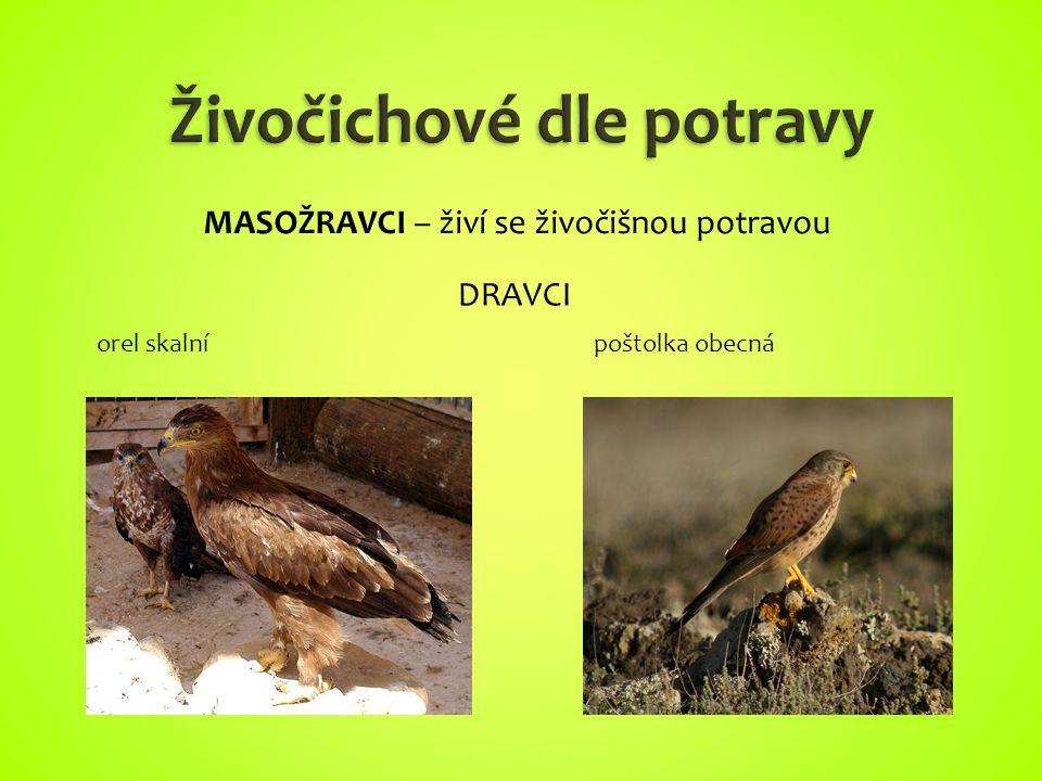 orel skalnípoštolka obecná MASOŽRAVCI – živí se živočišnou potravou DRAVCI