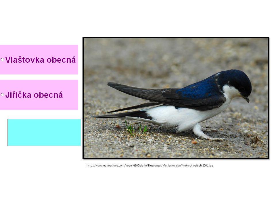 http://www.naturschule.com/Vogel%20Galerie/Singvoegel/Mehlschwalbe/Mehlschwalbe%2001.jpg