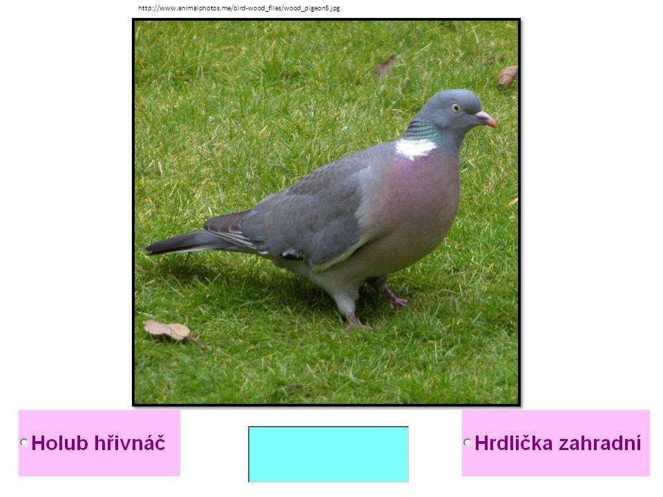 http://www.animalphotos.me/bird-wood_files/wood_pigeon5.jpg