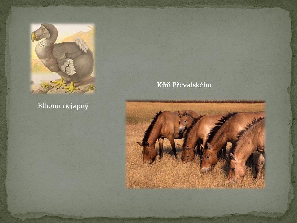 Blboun nejapný Kůň Převalského