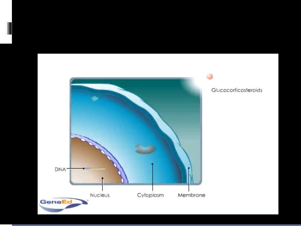  Po průchodu buněč.membránou (lipofilní částice) se váže na cytoplazmatický vazebný protein (cytoplazmatický receptor)  Komplex hormon-receptor + TF (AP-1) interagují se specifickými regulačními DNA sekvencemi (glucocorticoid response elements)  Indukuji x reprimují transkripci genů do mRNA  Syntéza proteinů začíná cca po 45-60 minutách