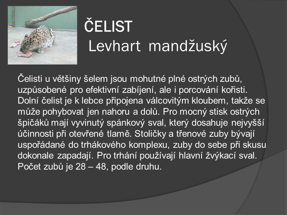ČELIST Levhart mandžuský Čelisti u většiny šelem jsou mohutné plné ostrých zubů, uzpůsobené pro efektivní zabíjení, ale i porcování kořisti. Dolní čel